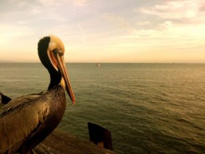 Những chú chim Pelican (chim chàng bè) đang tận hưởng ánh hoàng hôn