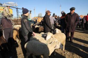 Những con cừu đã được chủ nhân của chúng nhóm lại với nhau để khỏi chạy lung tung
