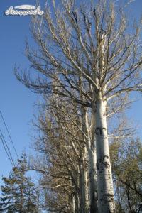 Hàng cây bạch dương cao vút và vàng rực vào thu
